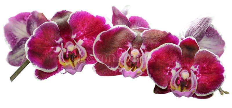Branche des orchidées roses d'isolement illustration stock