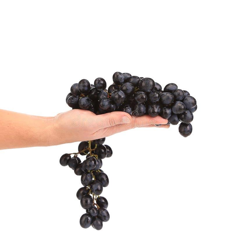 Branche des raisins mûrs noirs en main. photos libres de droits