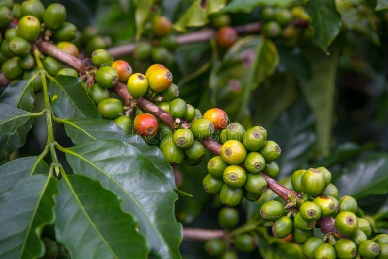 Branche diagonale d'usine de café avec les haricots principalement verts et jaunes image libre de droits