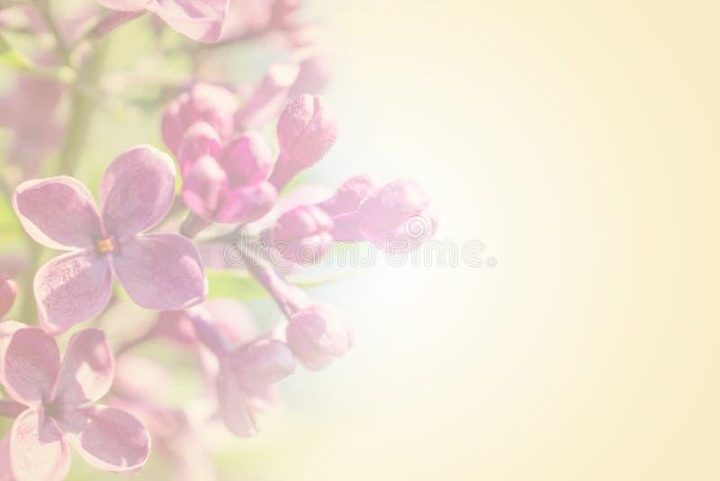 Branche douce de pétale de couleur avec les fleurs lilas roses de ressort sur le fond romantique jaune photos libres de droits