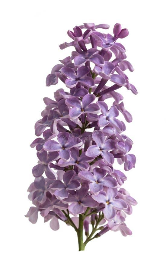 Branche douce simple d'étroit de floraison de lilas d'isolement sur le blanc photographie stock libre de droits
