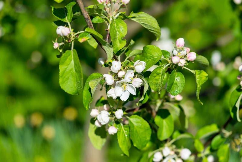 Branche du l'Apple-arbre de floraison image stock