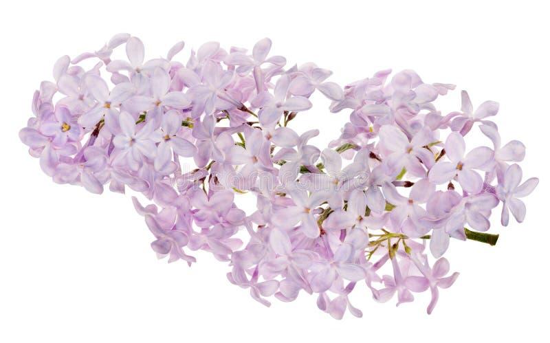 Branche en fleurs de lilas sur blanc images libres de droits