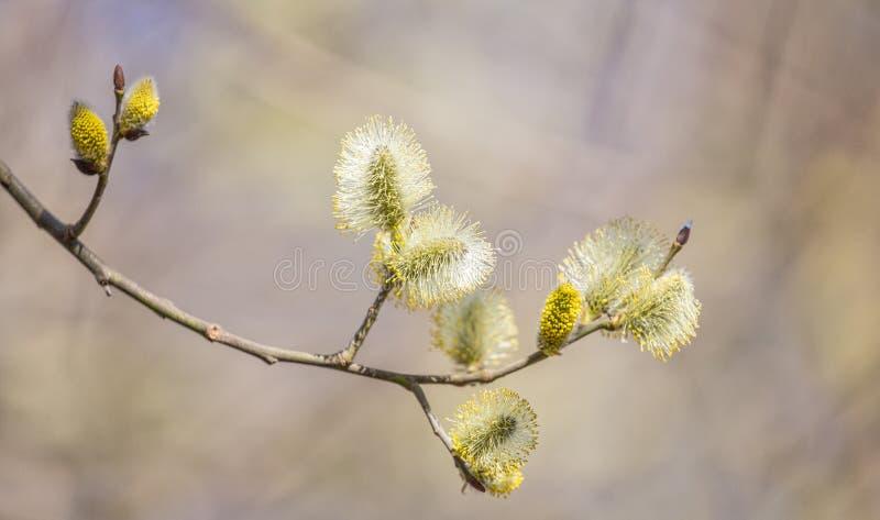 Branche en fleurs de saule de chèvre sur fond brun images stock