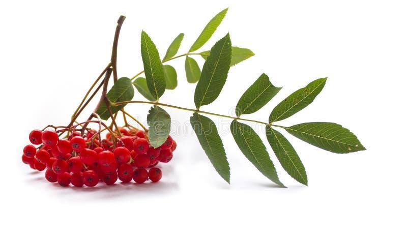 Branche et baies de sorbe d'Aurumn Sorbe rouge mûre d'isolement sur le fond blanc photo stock