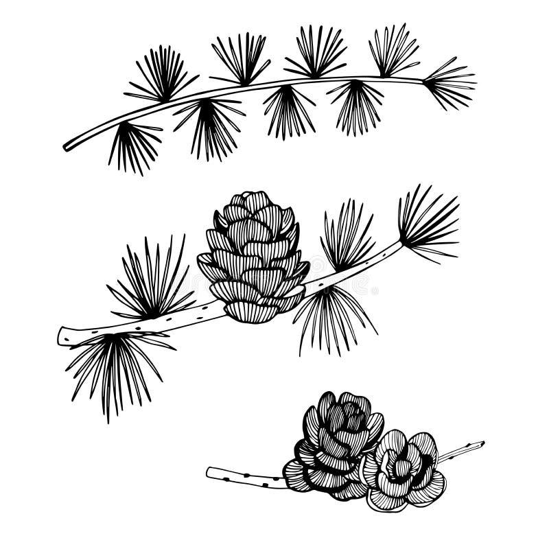 Branche et cônes tirés par la main de mélèze sur le fond blanc Vecto illustration de vecteur
