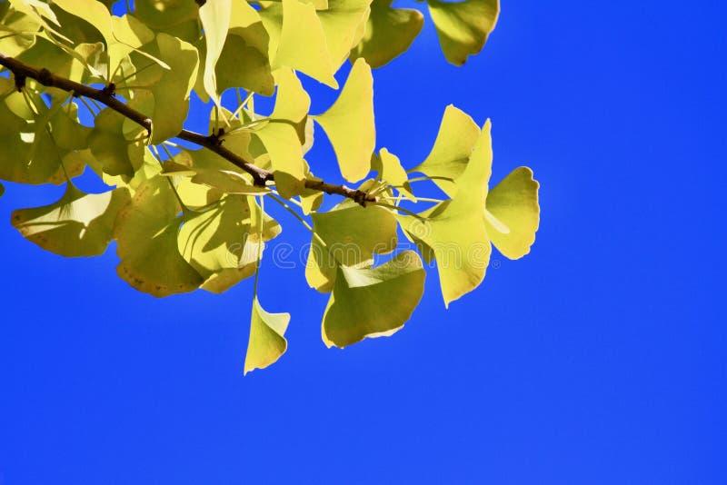 Branche et ciel de Ginkgo photos stock