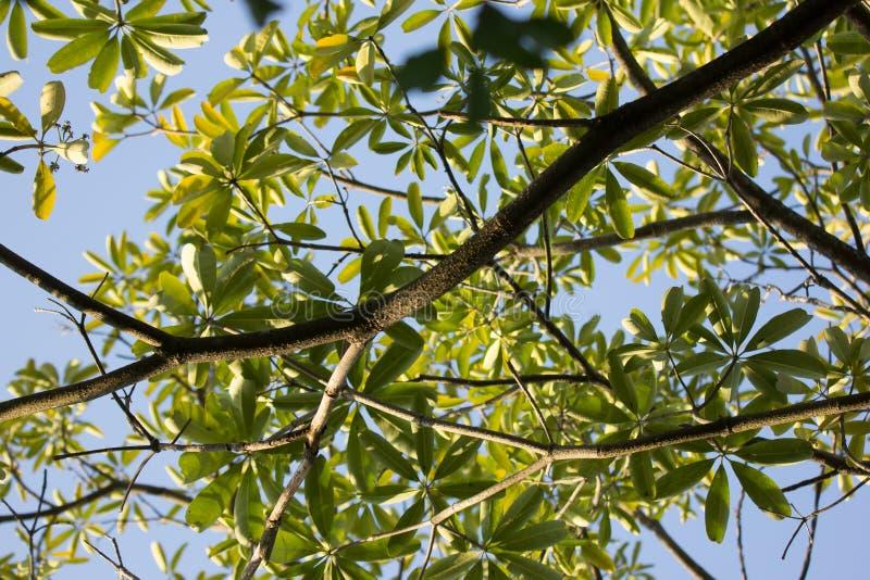Branche et feuille d'arbre de tableau noir image stock