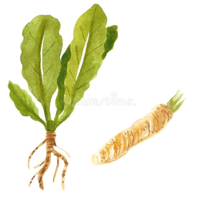 Branche et racine de raifort, illustration d'aquarelle images stock