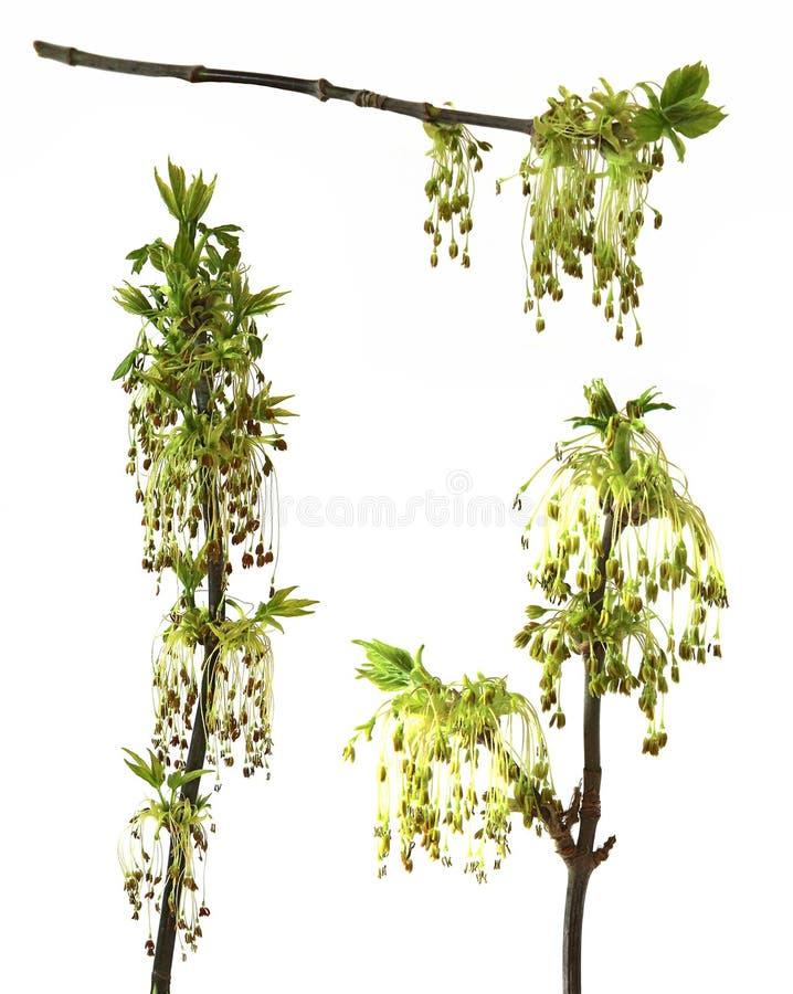 Branche fleurissante d'érable, branche se développante des clo de saules de chatons photos libres de droits