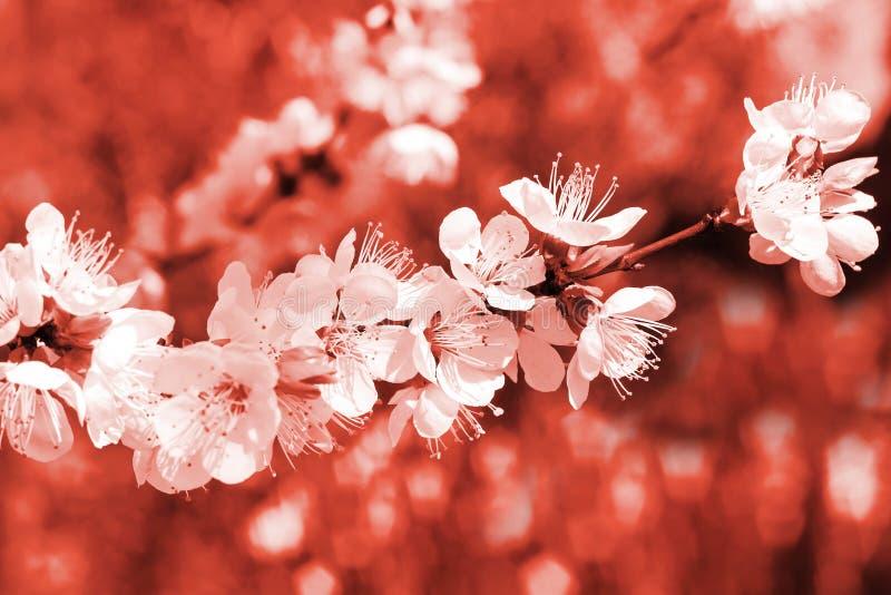 Branche fleurissante d'abricotier dans la couleur de corail vivante à la mode de l'année 2019 contre les jeunes jaunes blancs de  image libre de droits