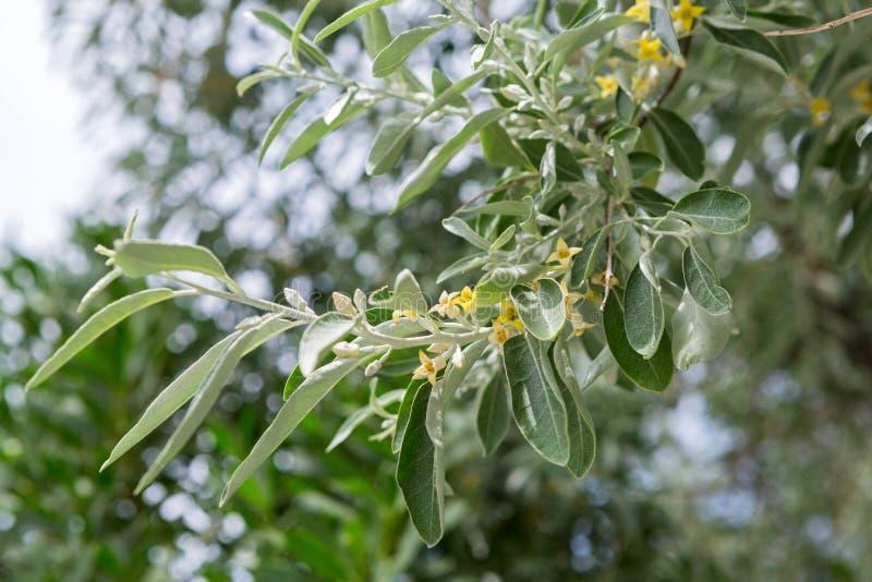 Branche Fleurissante D\'un Olivier Image stock - Image du olive ...