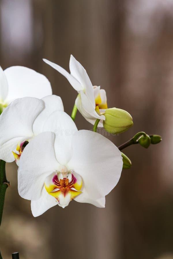 Branche fleurissante de phalaenopsis d'orchidée photos libres de droits
