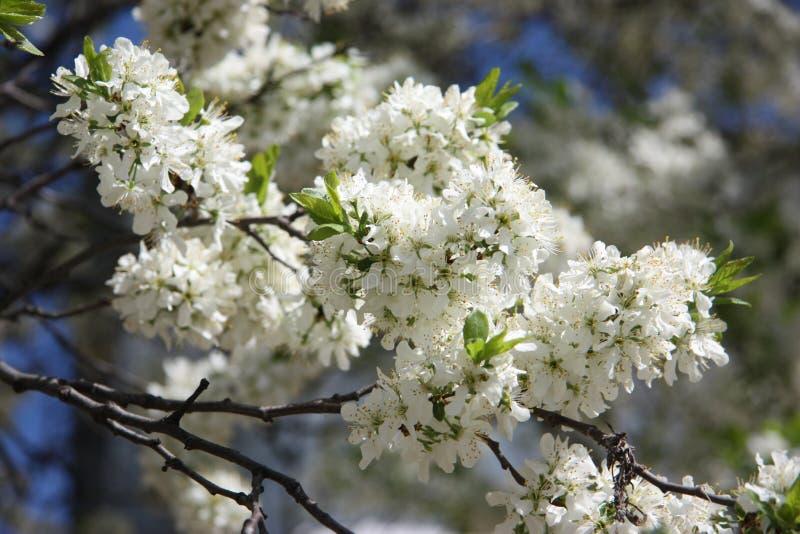 branche fleurissante de ressort de cerise dans le flowersblanc image libre de droits