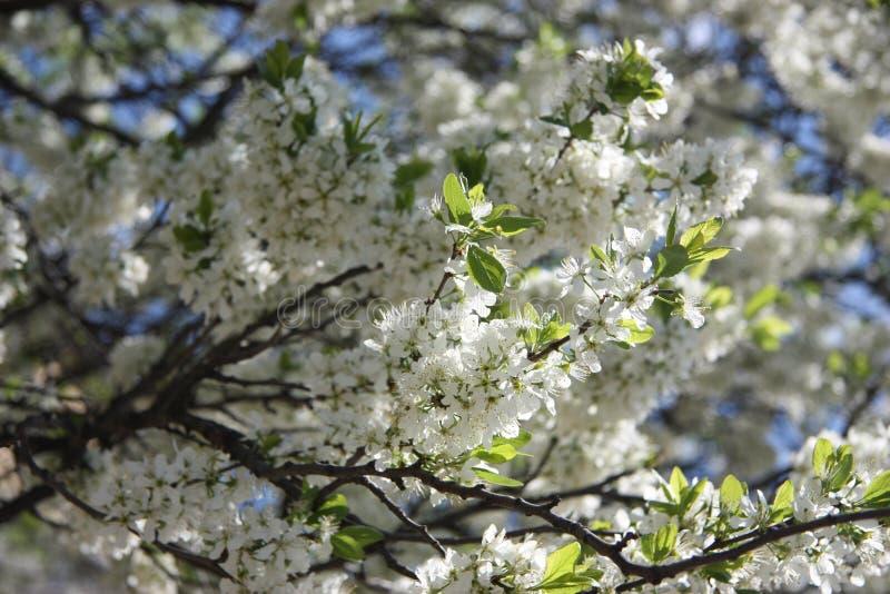 branche fleurissante de ressort de cerise dans le flowersblanc photographie stock