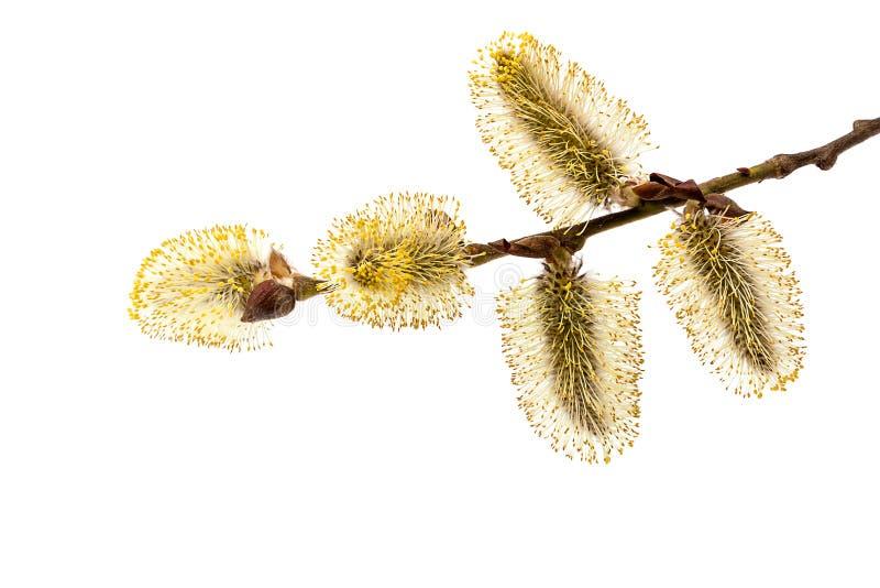 Branche fleurissante sensible de saule photographie stock