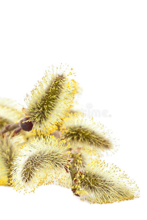 Branche fleurissante sensible de saule photographie stock libre de droits