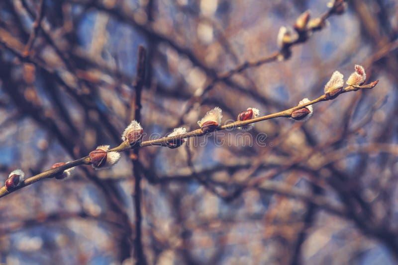 Branche fleurissante sensible de saule avec des glaçons photo libre de droits