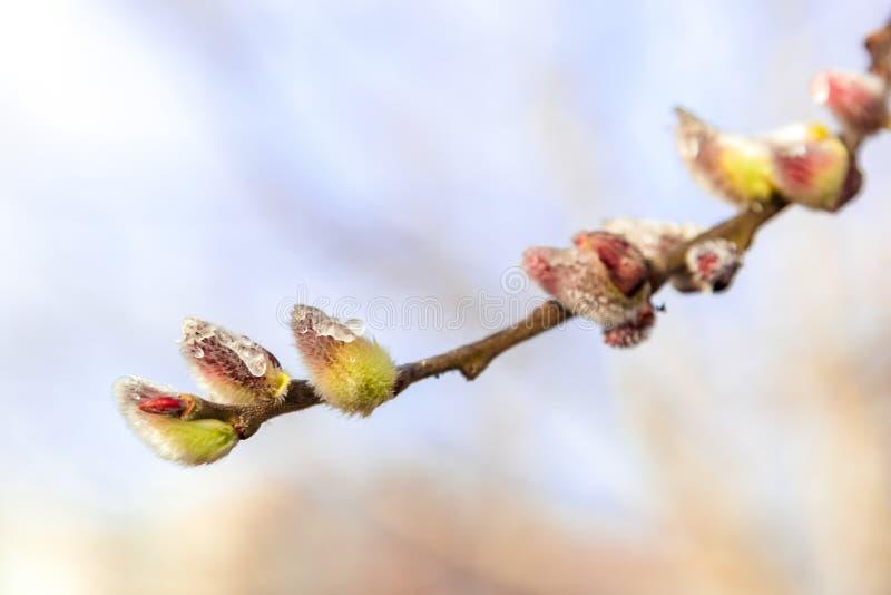 Branche fleurissante sensible de saule un jour ensoleillé photo libre de droits