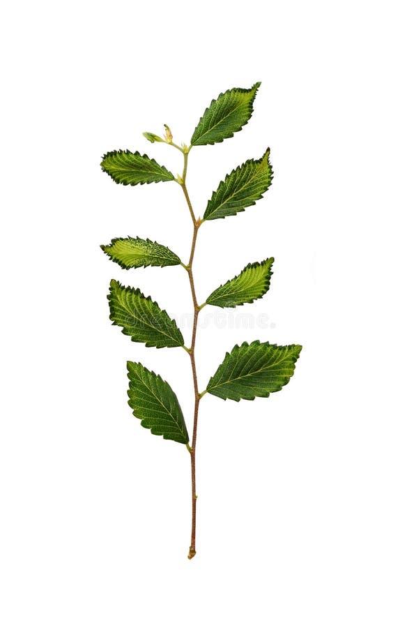 Branche fraîche avec les feuilles vertes image libre de droits