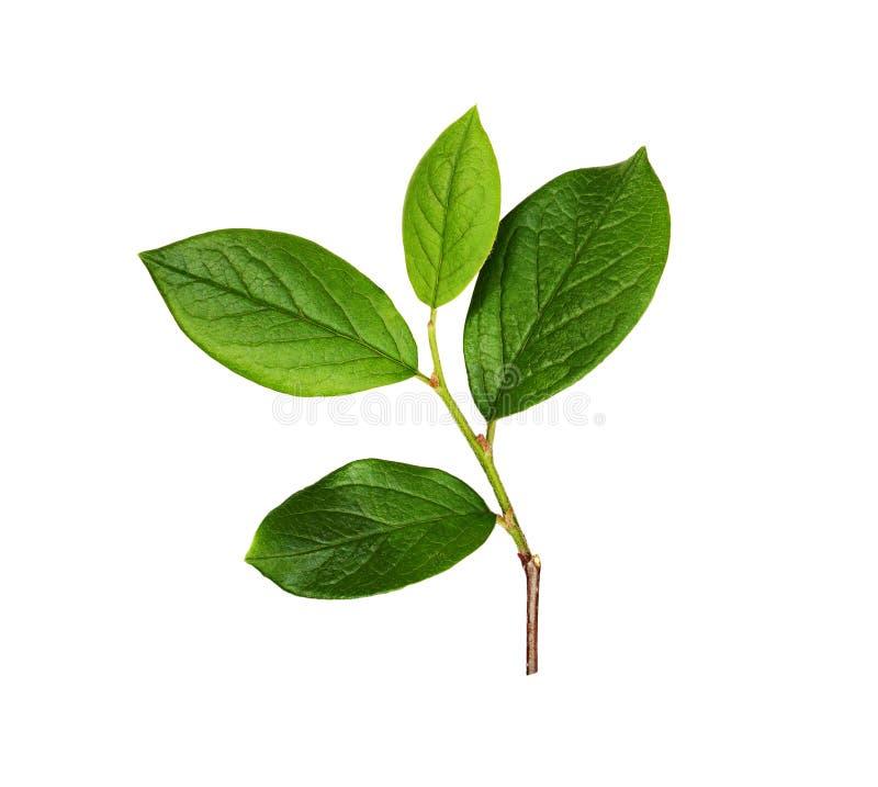 Branche fraîche avec les feuilles vertes images libres de droits
