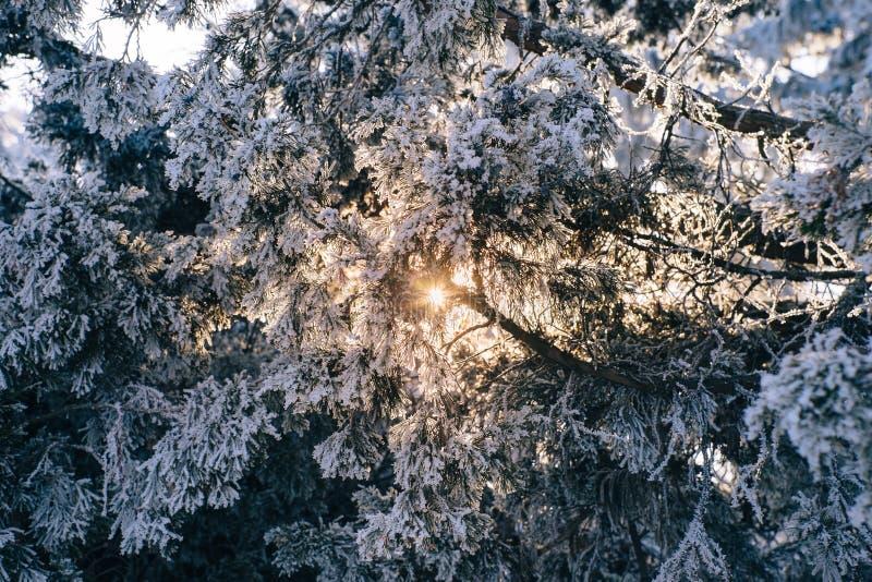 Branche gelée de pin dans la forêt d'hiver au coucher du soleil photographie stock libre de droits