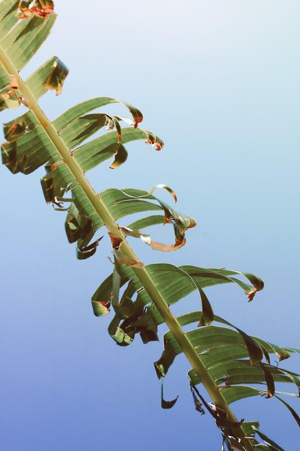Branche haute étroite de paume contre le ciel bleu photos libres de droits