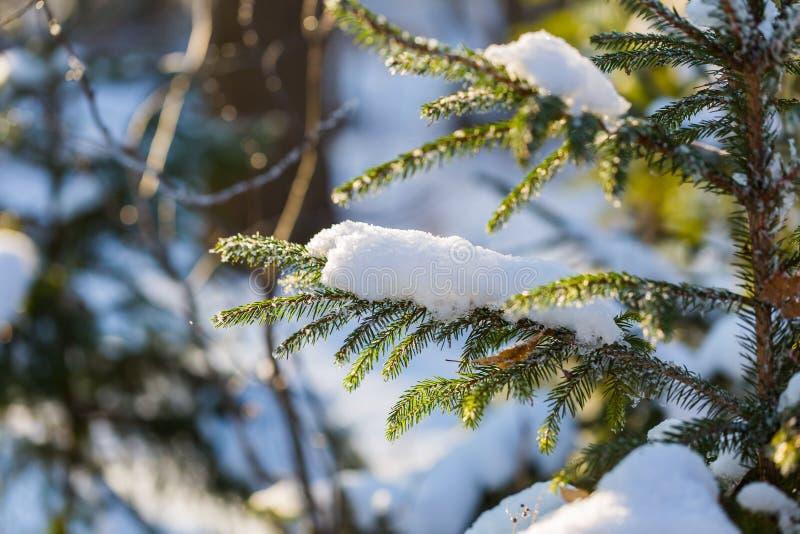 Branche impeccable d'hiver sous la neige dans la bonne lumière photographie stock libre de droits