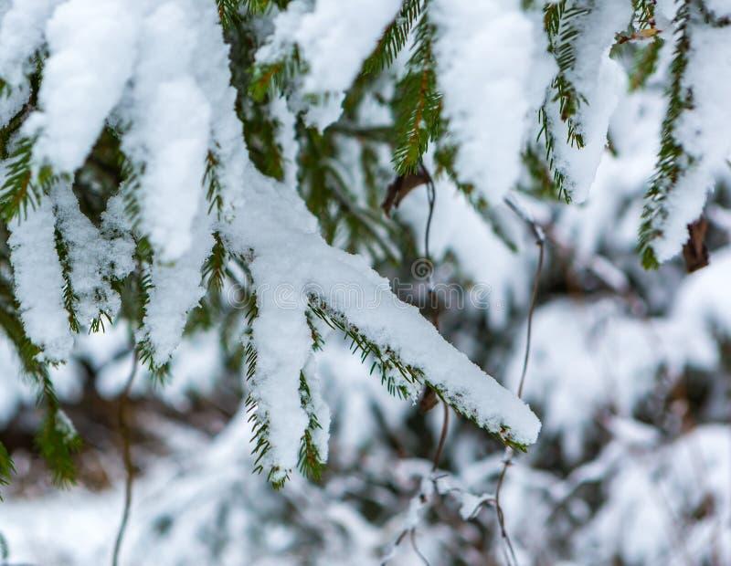 Branche impeccable sous la neige image libre de droits