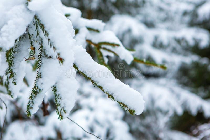 Branche impeccable sous la neige photos libres de droits