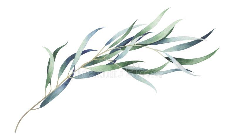 Branche ?l?gante d'eucalyptus d'isolement sur le fond blanc Illustration d'aquarelle illustration stock