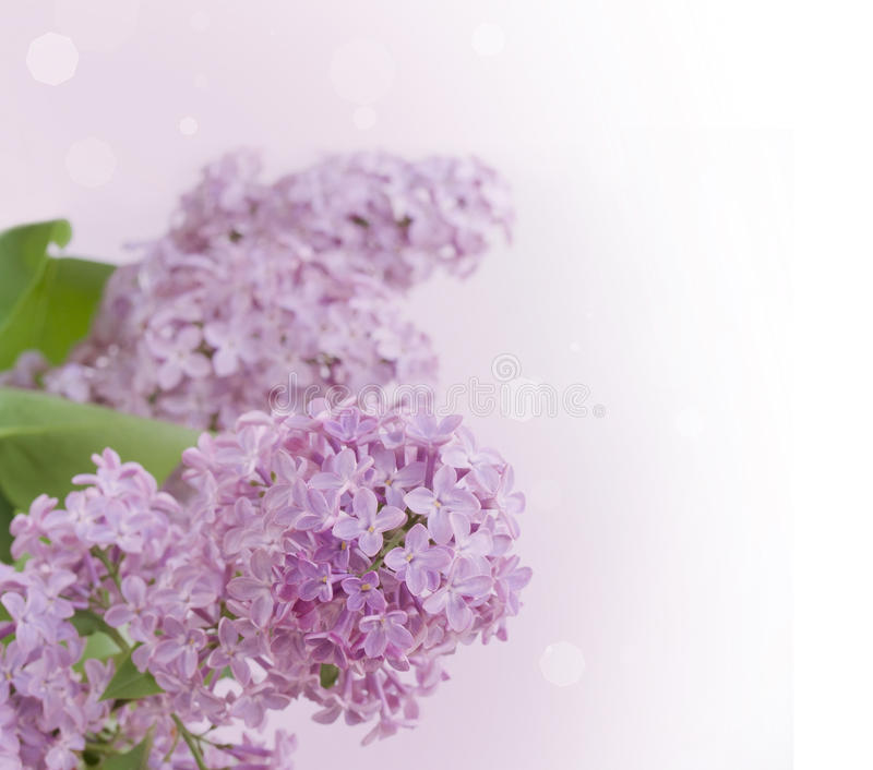 Download Branche lilas image stock. Image du arome, nature, macro - 56482121