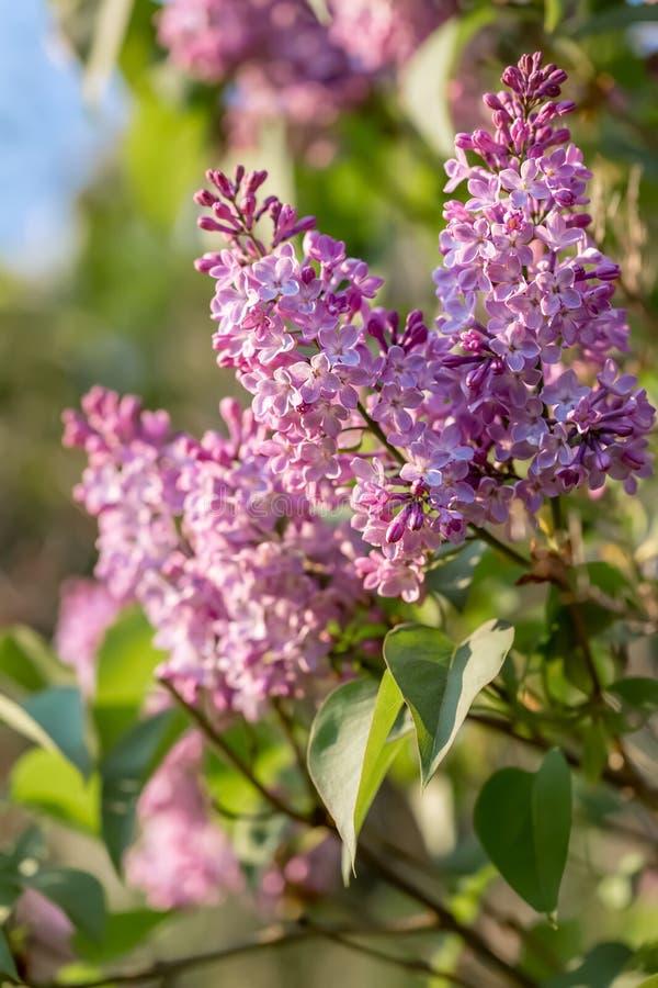 Branche lilas dans le printemps Fleurons violets de ressort lilas dans le jardin Papier peint de nature images stock