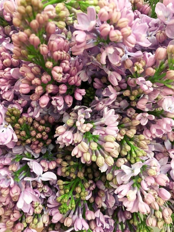 Branche lilas de floraison dans le printemps Fleurons violets de ressort lilas dans le jardin Branche se d?veloppante de syringa  photo stock
