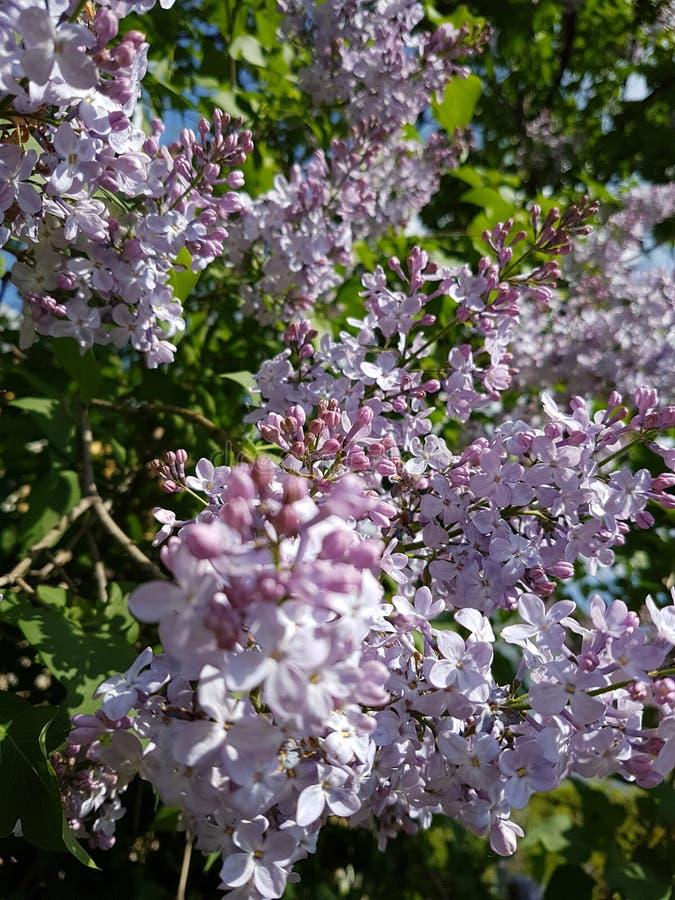 Branche lilas pourpre se développante de ressort en gros plan en parc de jardin images libres de droits