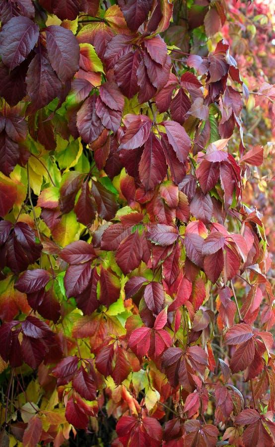 Branche lumineuse de Parthenocissus de feuilles d'automne photographie stock