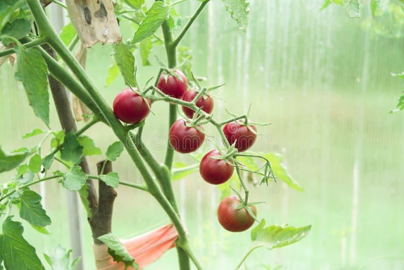 Branche mûre des tomates-cerises rouges photos stock
