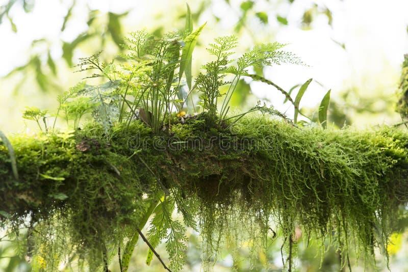 branche Mousse-élevée dans la forêt tropicale de l'Ouganda photographie stock libre de droits