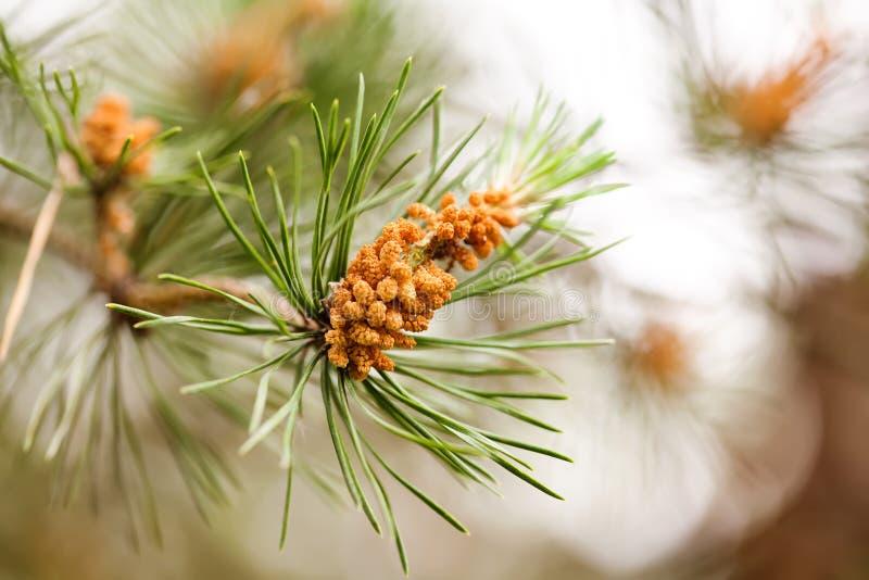 Branche naturelle de sapin avec le petit cône brindille à feuilles persistantes d'arbre de macro vue, profondeur de champ photo libre de droits