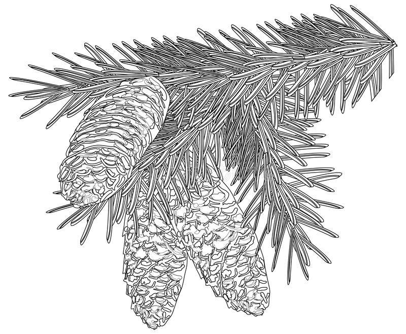 Branche noire de sapin avec trois cônes sur le blanc illustration libre de droits