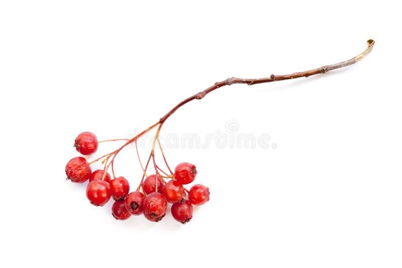 Branche nue de cendre de montagne avec les baies rouges mûres sur le backg blanc image stock