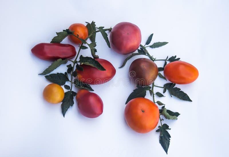 Branche ovale de tomates photo libre de droits