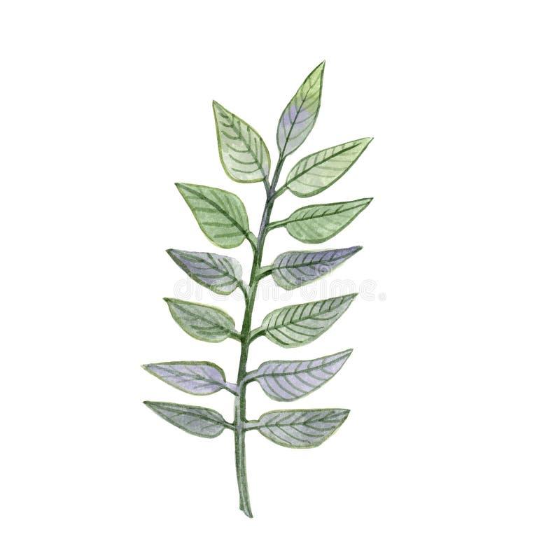 Branche peinte à la main d'aquarelle avec les feuilles vertes et violettes de couleur illustration libre de droits