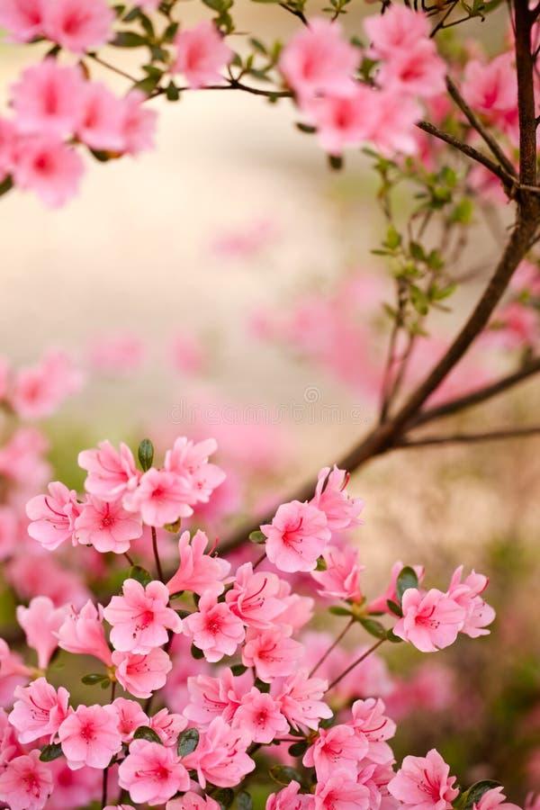 Branche rose d'azalée image stock