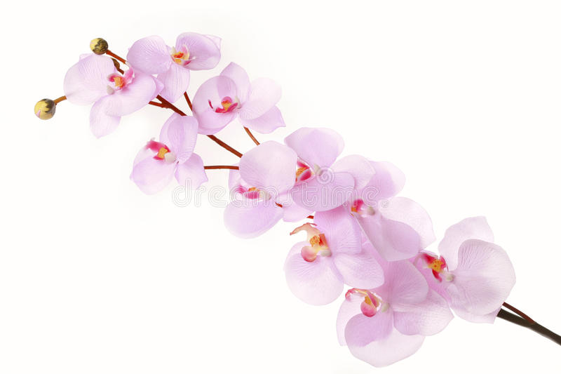 Branche rose de fleurs de cerisier images libres de droits