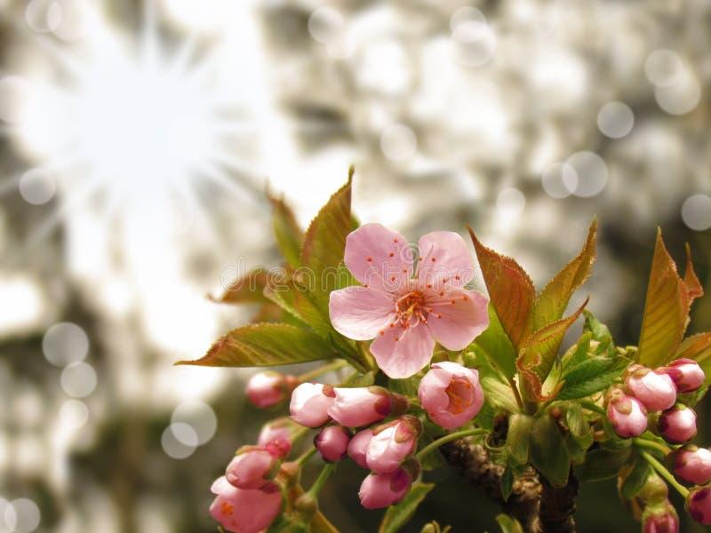 Branche rose de fleurs de cerisier de Sakura avec le fond abstrait ensoleillé de bokeh photos libres de droits
