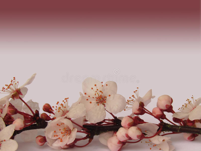 Branche rose de fleurs de cerisier de Sakura avec le fond rose foncé de gradient images stock