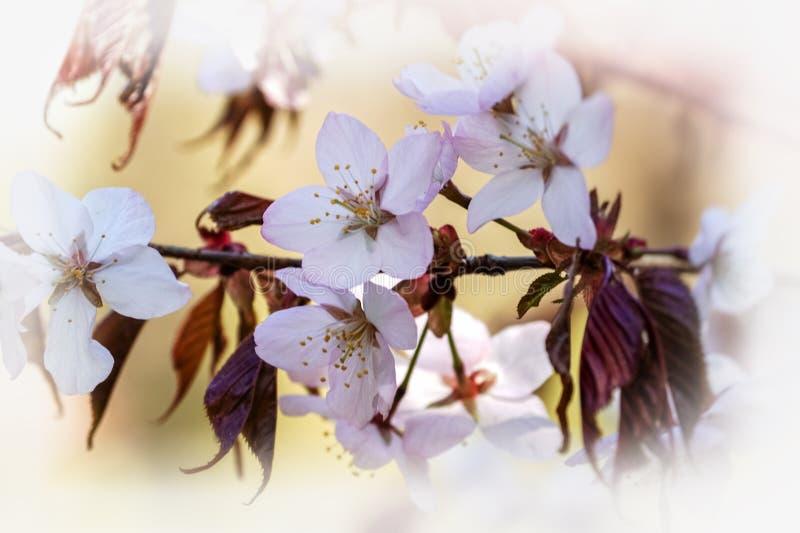 Branche rose de floraison de Sakura au printemps Fond jaune mou Fleurs roses de Sakura de floraison photographie stock libre de droits