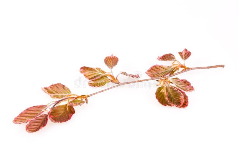 Branche rose de hêtre image stock