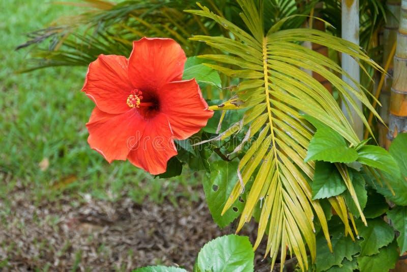 Branche rouge de fleur et de paume de ketmie photo stock